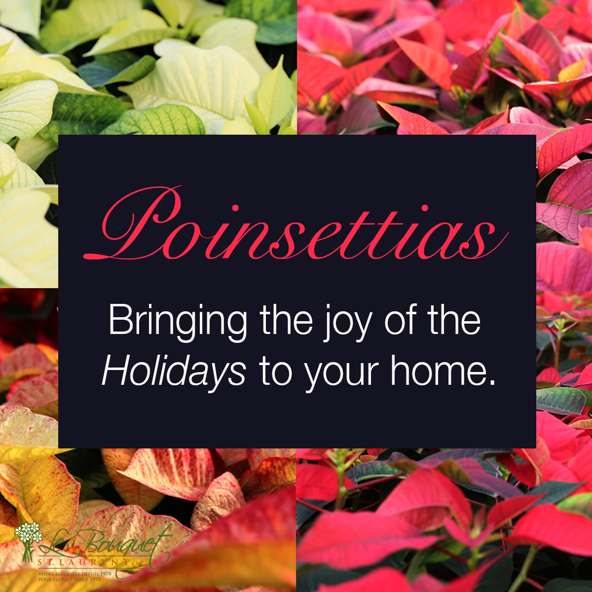 Bringing the joy home for the Holidays with Poinsettias from Montreal florist Le Bouquet St Laurent