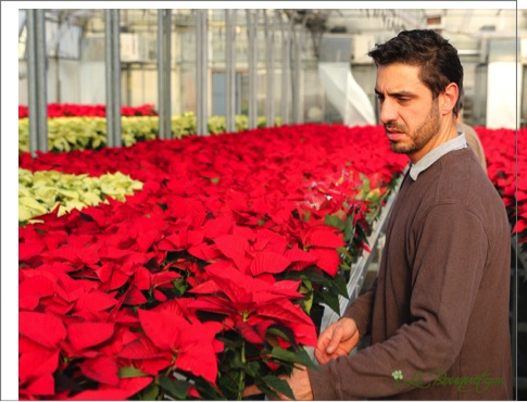 Joseph Botelho from Le Bouquet hand picking poinsettias for the Holidays