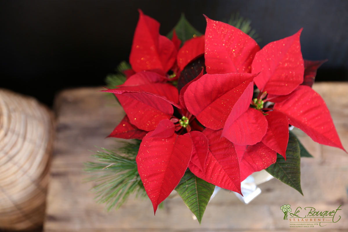 red poinsettia from local Montreal flower delivery specialist Le Bouquet St Laurent