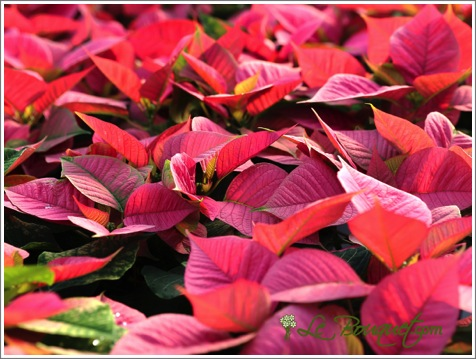 Pink Poinsettia for the Holidays - Le Bouquet