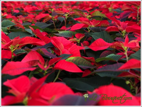 Red Poinsettia for the Holidays - Le Bouquet