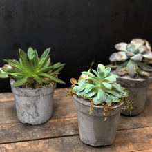 Assorted Succulents in Cement Pot