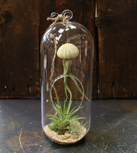 Cousteau Air Plant