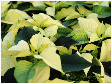 Yellow Poinsettia for the Holidays - Le Bouquet